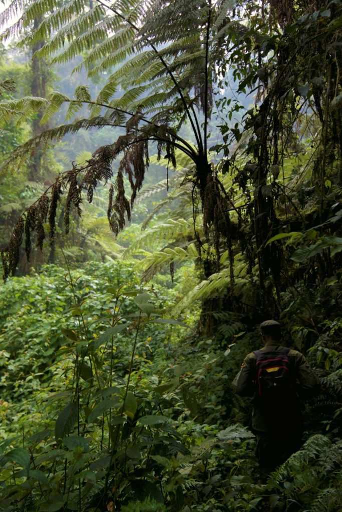 Gorilla trekking in Bwindi Impenetrable National Park © Chloë Cooper