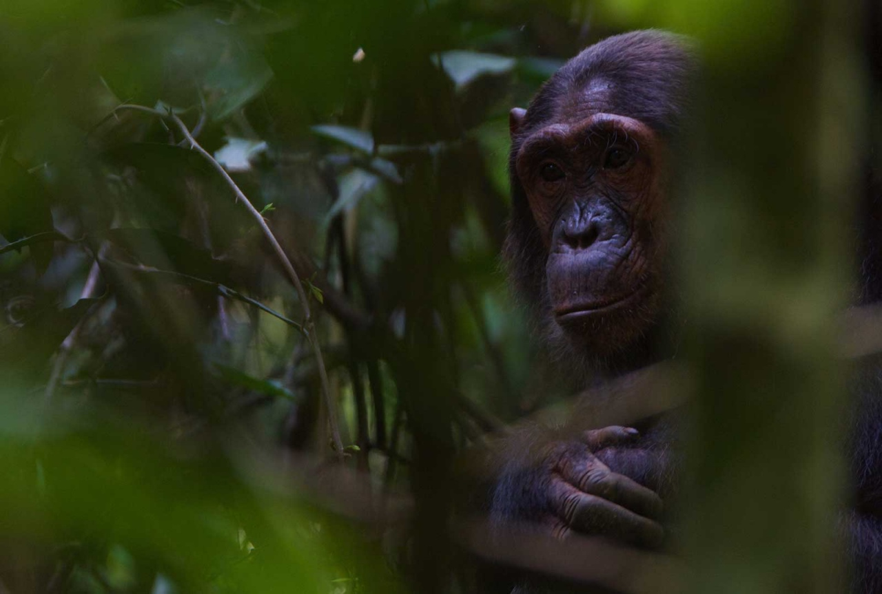 Chimpanzee tracking in Kibale Forest © Chloë Cooper