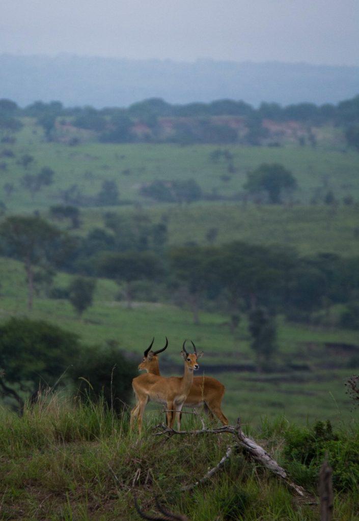 Kob antelope in Murchison Falls NP © Chloë Cooper