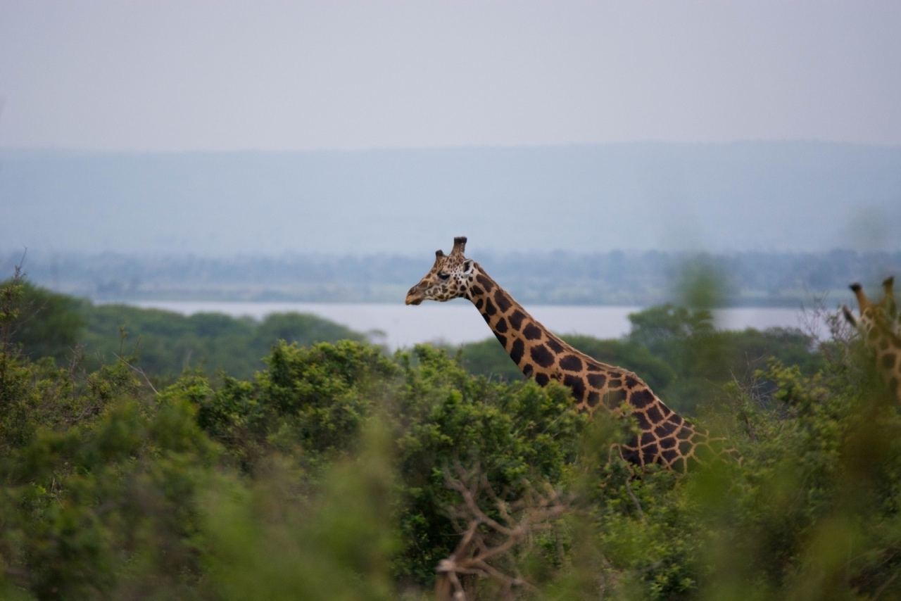 Rothschild's giraffe in Murchison Falls NP © Chloë Cooper