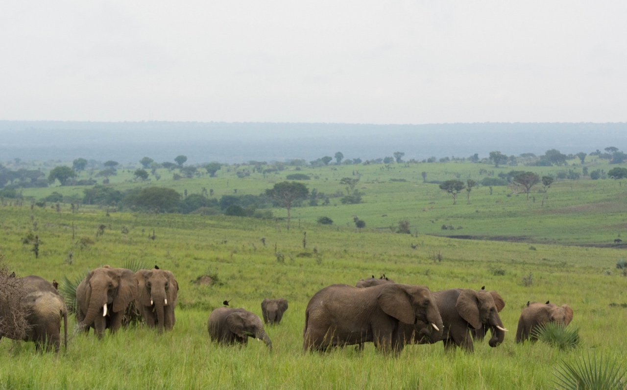 Elephants on the plains of Murchison Falls NP © Chloë Cooper