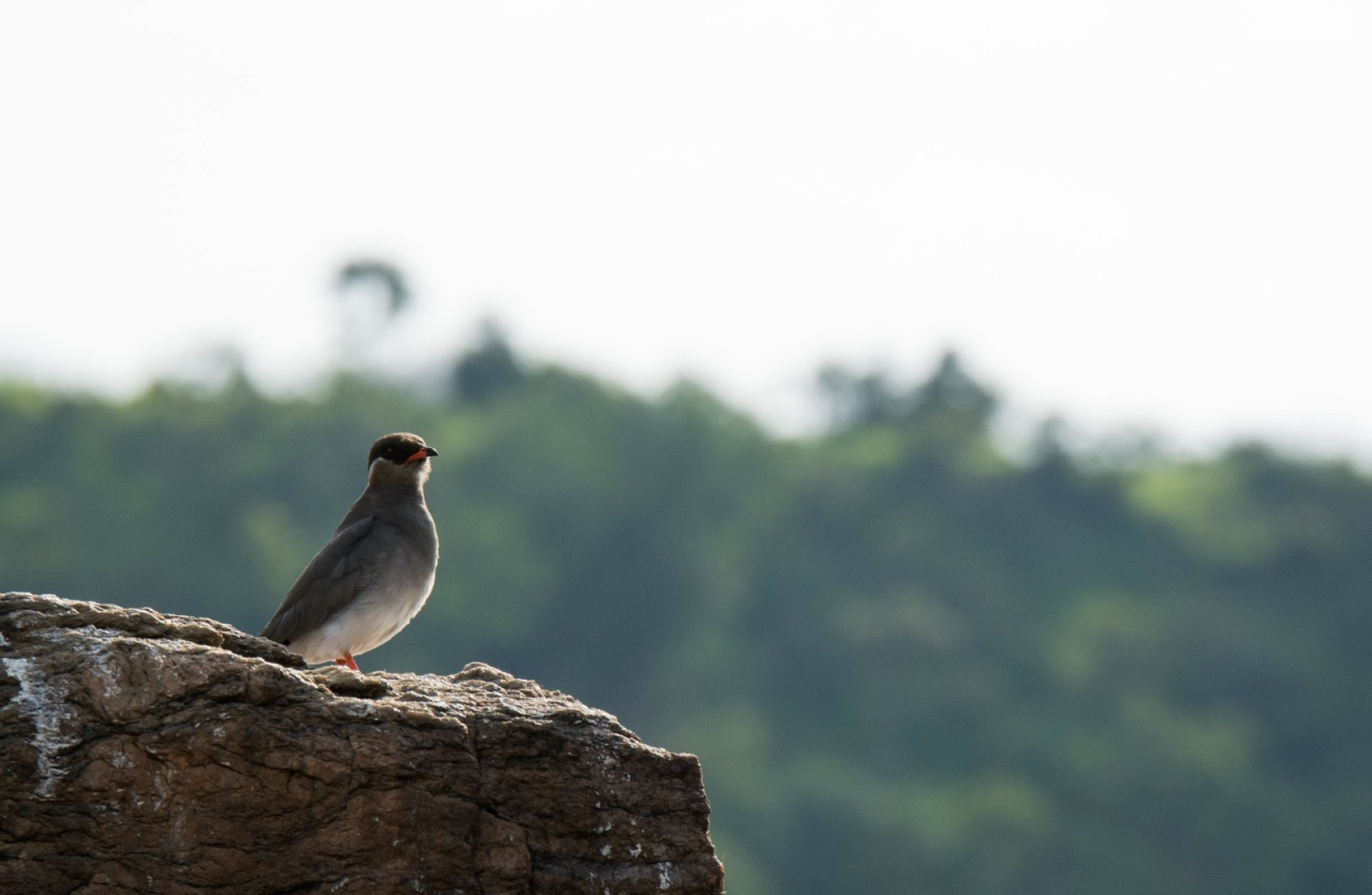Rock pratincole on River Nile, Murchison Falls © Chloë Cooper