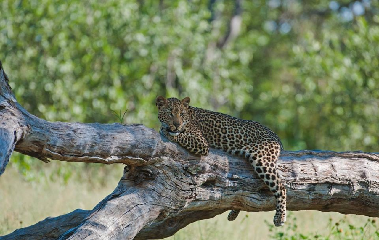 Incredible cat sightings in Hwange with Somalisa Camp