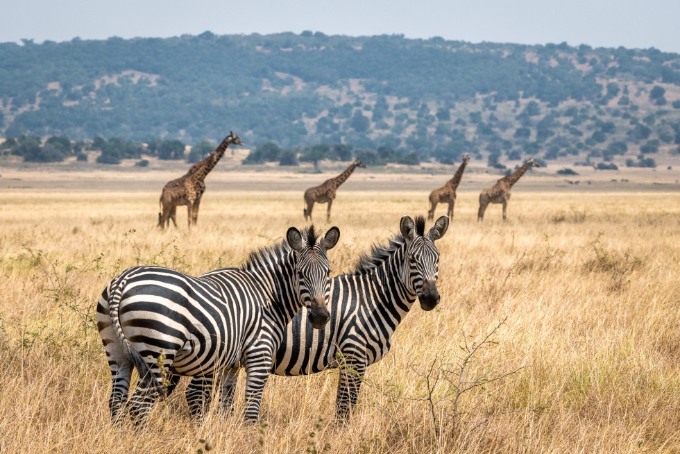 Animal repopulation has been an enormous success in Akagera since African Parks stepped in in 2010