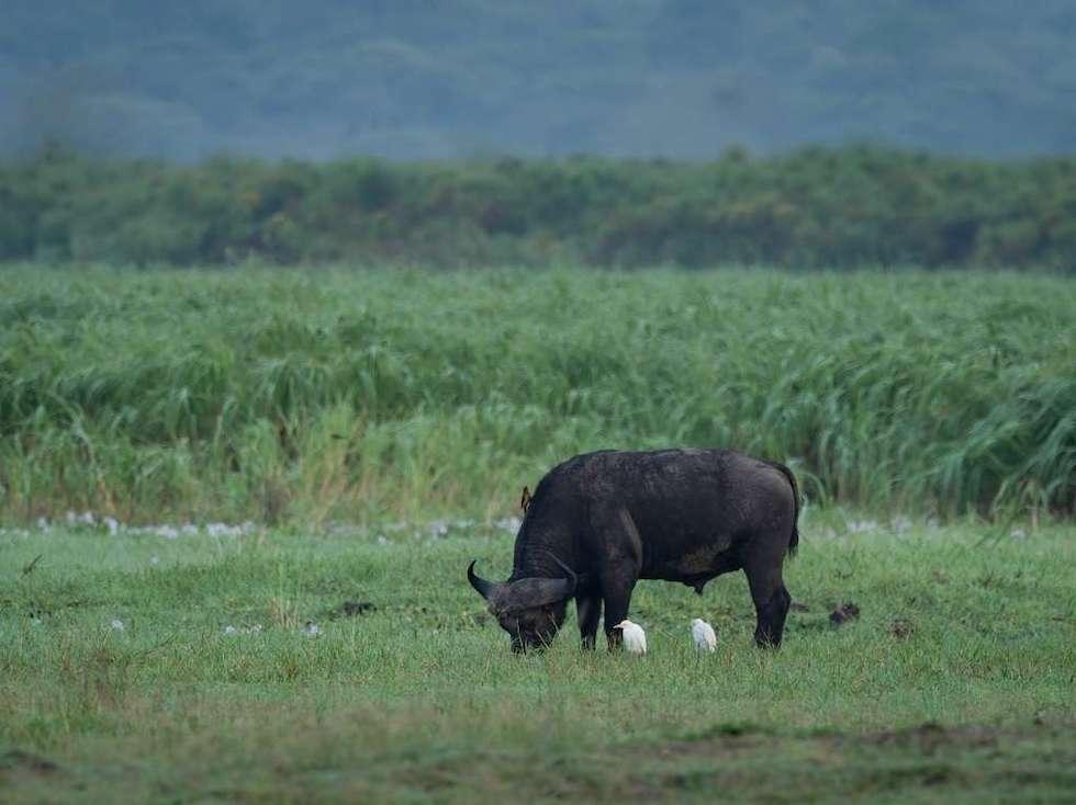 Buffalo on Muhana Plains, Akagera, at Magashi Camp by Hein Myers