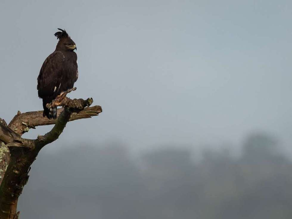 Hein Myers Magashi Camp Akagera long-crested eagle