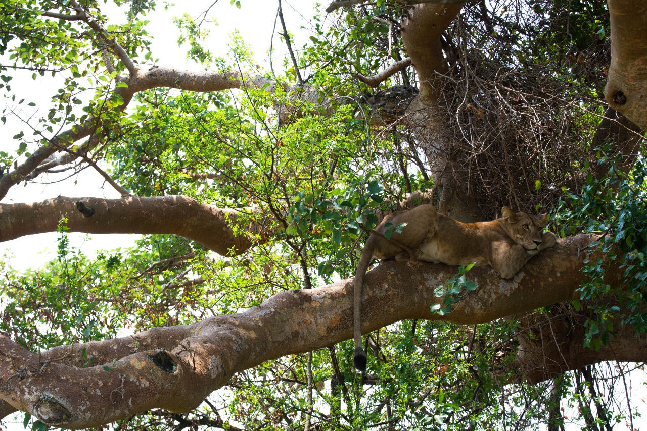 Tree-climbing lions in Queen Elizabeth National Park © Chloë Cooper
