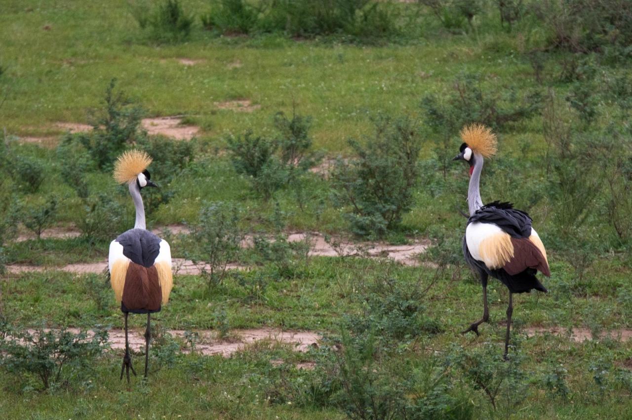 Grey-crowned crane, Murchison Falls National Park © Chloë Cooper