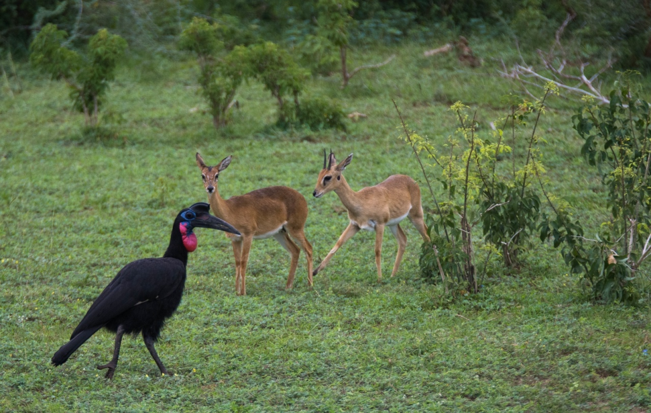 Abyssinian hornbill and common duikers, Murchison Falls NP © Chloë Cooper