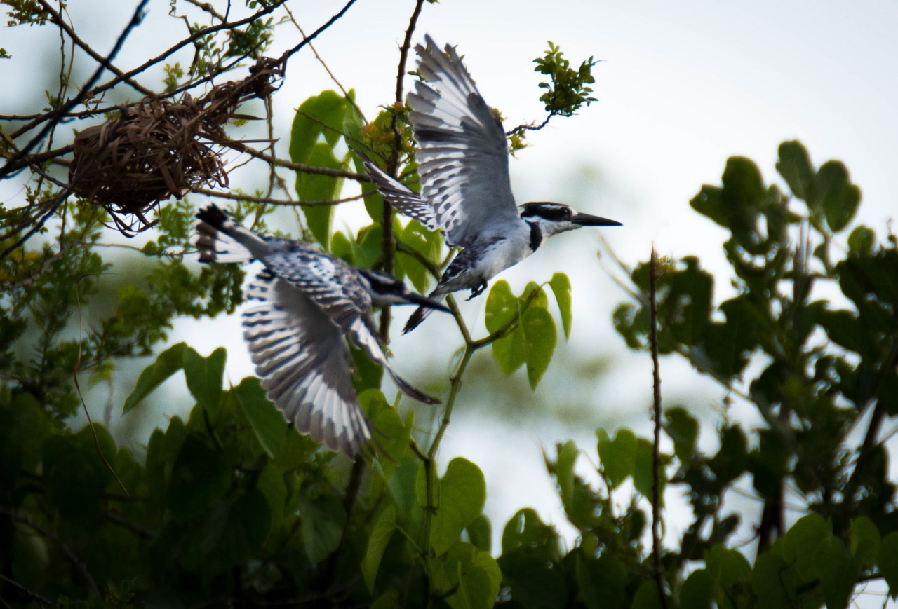 Pied kingfishers on River Nile, Murchison Falls © Chloë Cooper