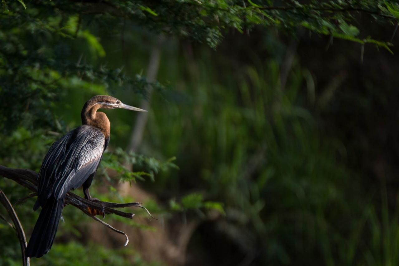 African darter on River Nile © Chloë Cooper