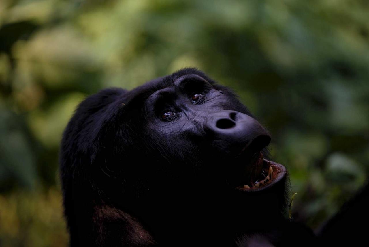 Gorilla trekking in Bwindi Impenetrable National Park © Chloë Cooper
