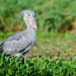 The shy and elusive shoebill finds a home in the wetlands of Akagera, one of its last remaining territories