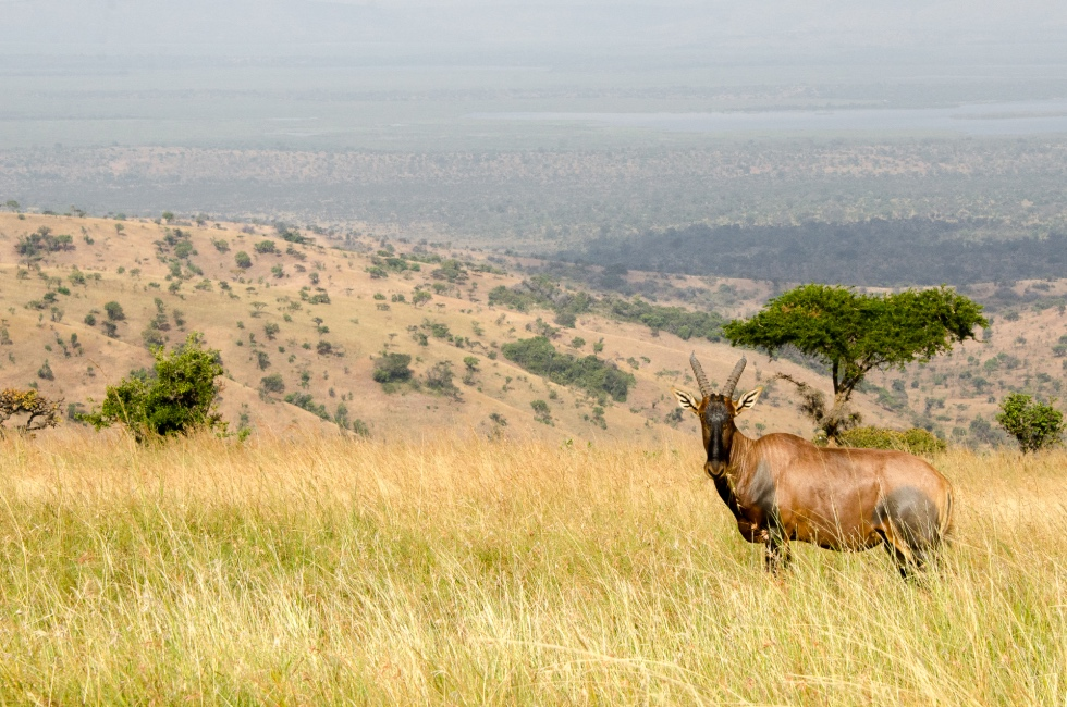 Undulating plains in this savannah woodland region of eastern Rwanda - Akagera