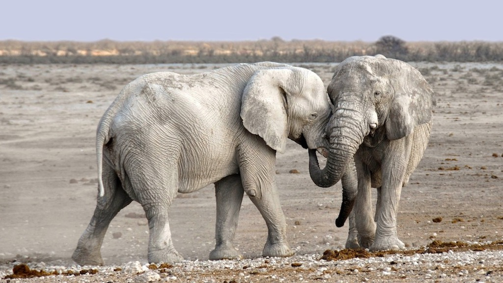White elephants of Etosha National Park