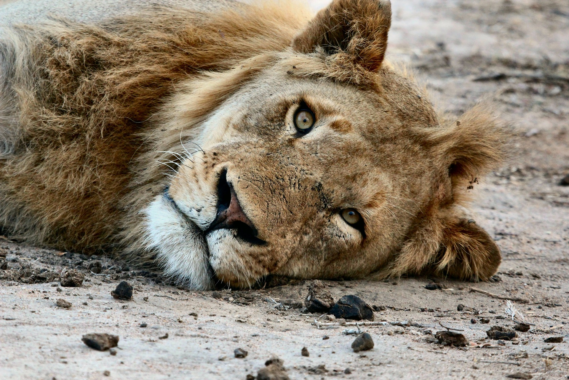 Incredible lion sightings in Mana Pools and Hwange